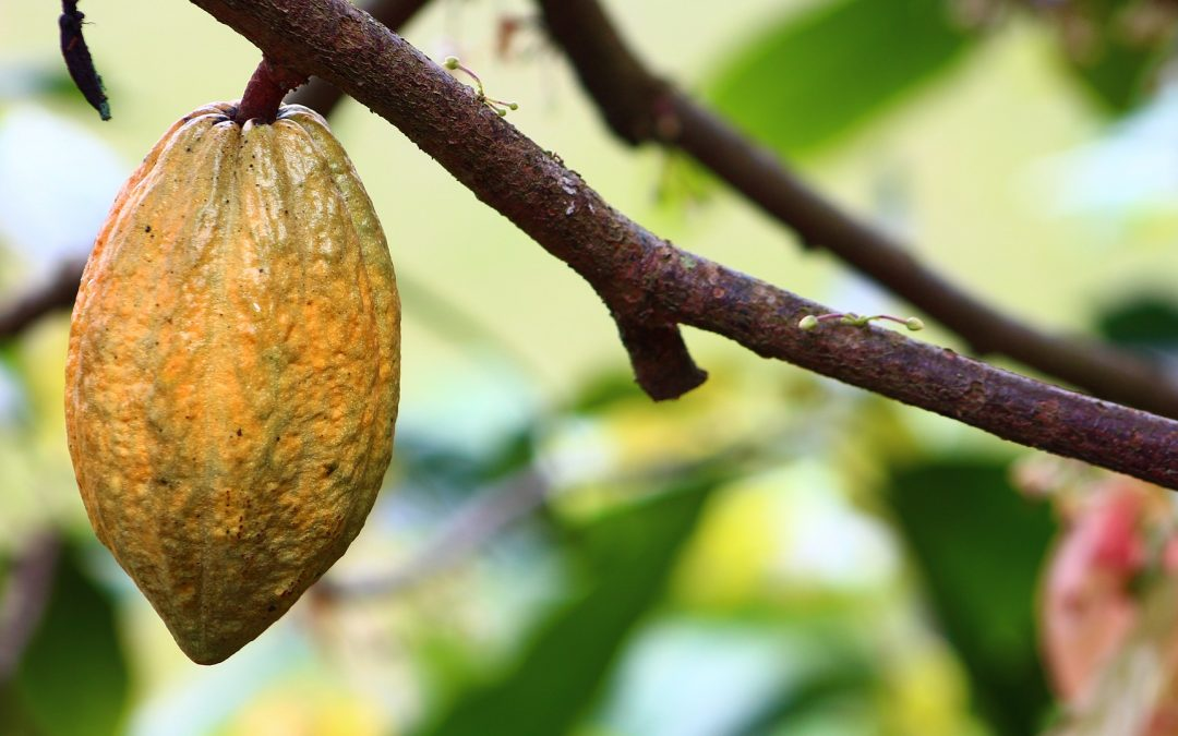 Difficult news for Fairtrade chocolate – what does this mean for cocoa sustainability and Fairtrade?