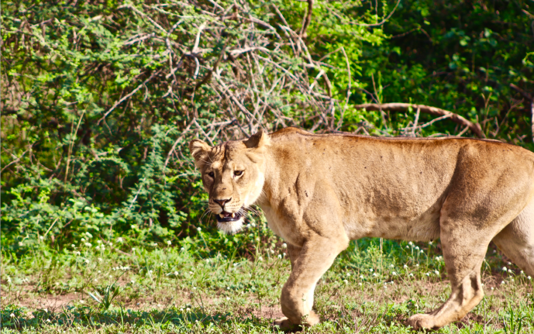Chasing the Lion: Command-and-Control Conservation or Why Small Is Beautiful